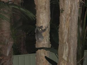 Koala in my backyard