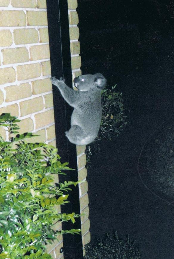 Koala up a drainpipe