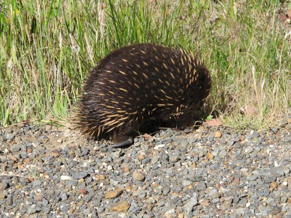 A little echidna trying to mind his own business