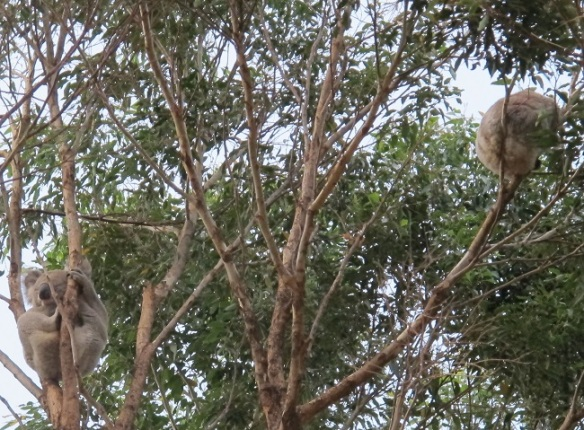 Koala slumber party...