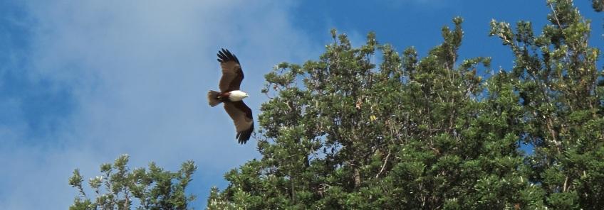 A sea eagle...
